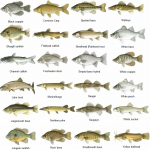 Links chuck 39 s fishing charters for Lake erie fish species